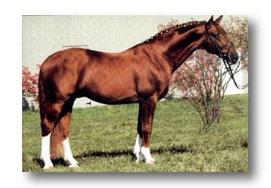 Grusus, Class 1 Hannoverian stallion